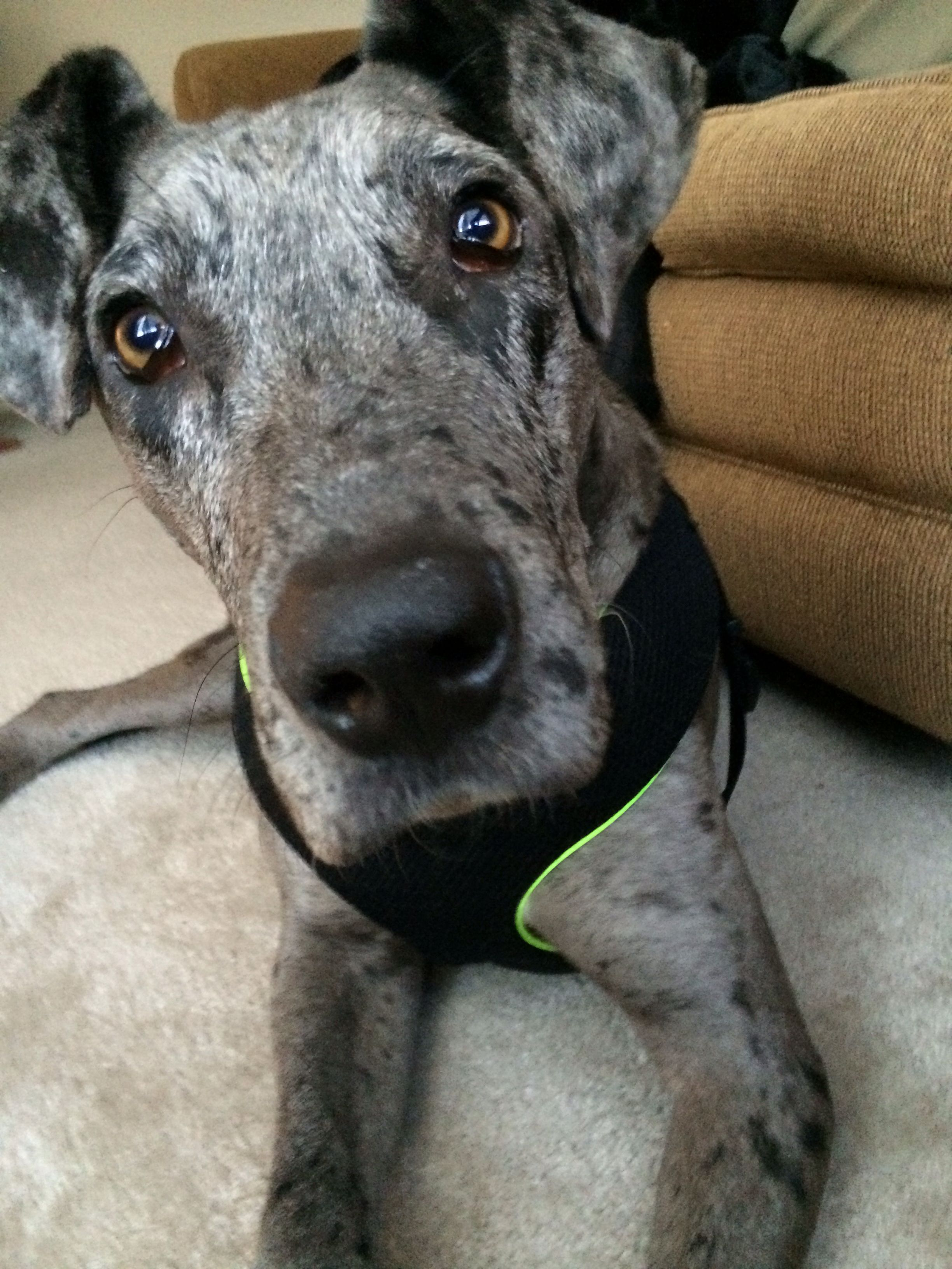 Great Dane And Catahoula Leopard Dog Mix Greatdane
