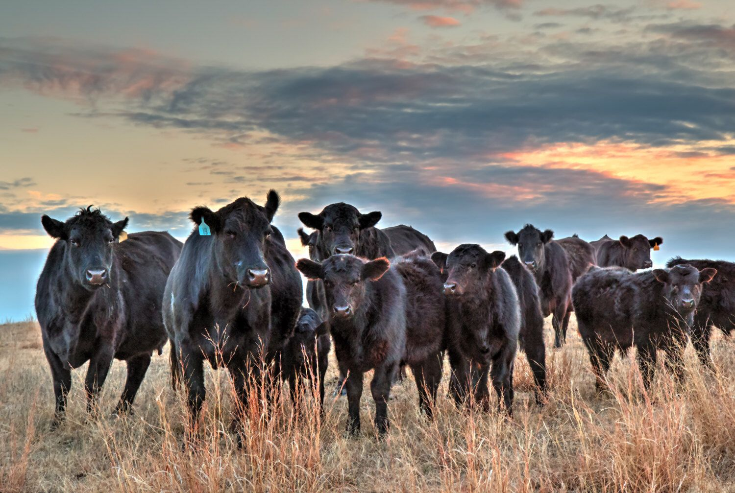 Western Decor Cow Canvas Print Or Photo Of A Herd Of Black