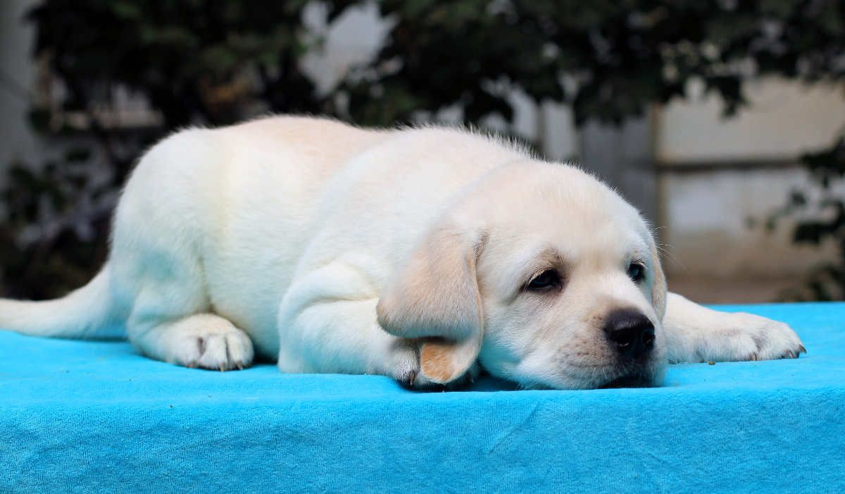 When Do Puppies Stop Biting And How To Cope With A Teething Lab