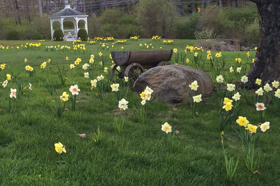 Daffodils growing randomly in yard