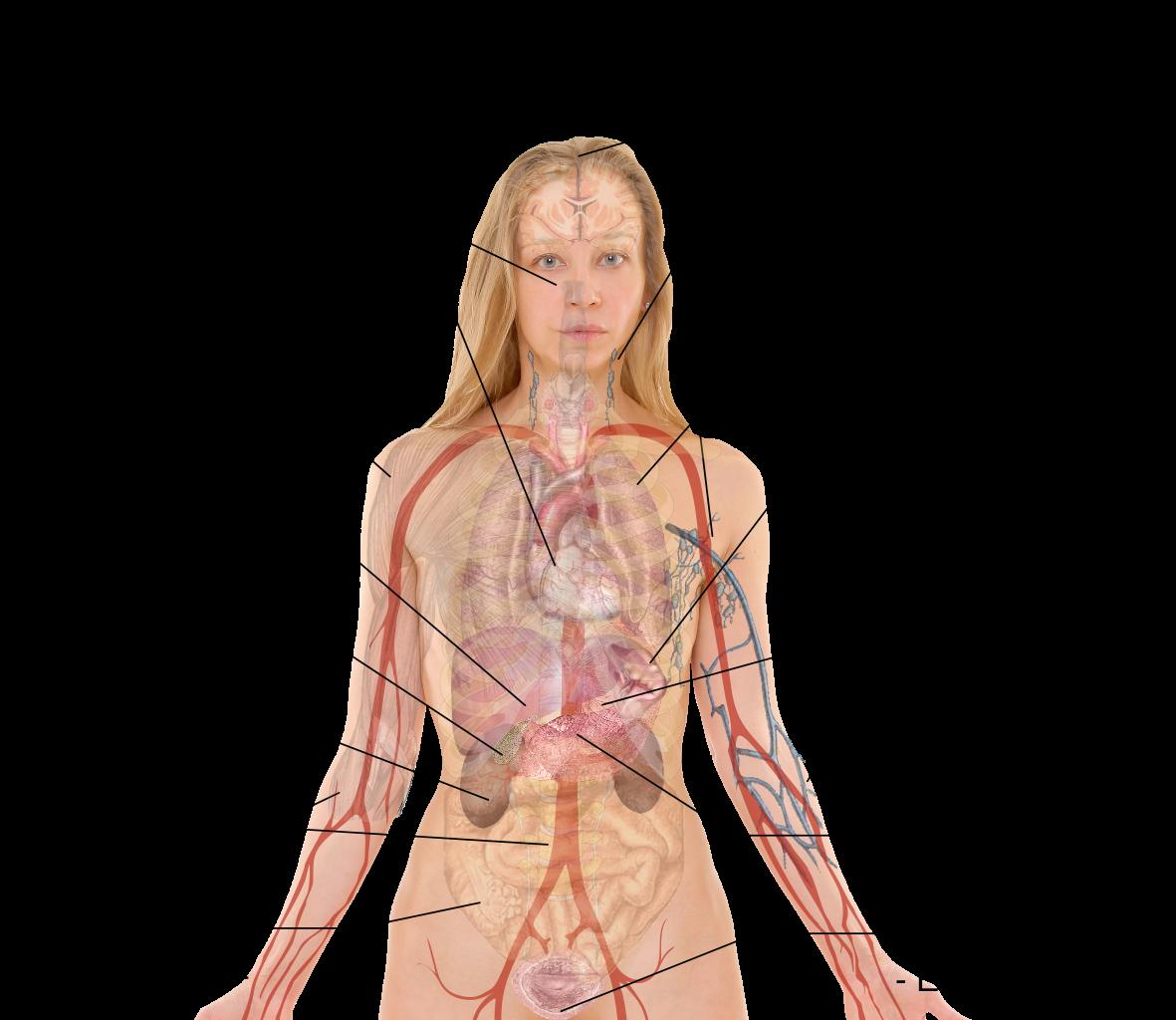 Anatomy Human Body Organs Female Tempat Untuk Dikunjungi