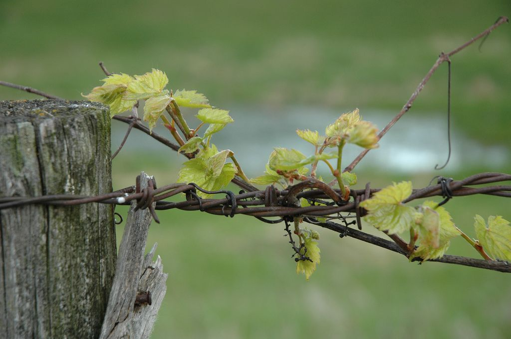 Spring Vine | Flickr - Photo Sharing!