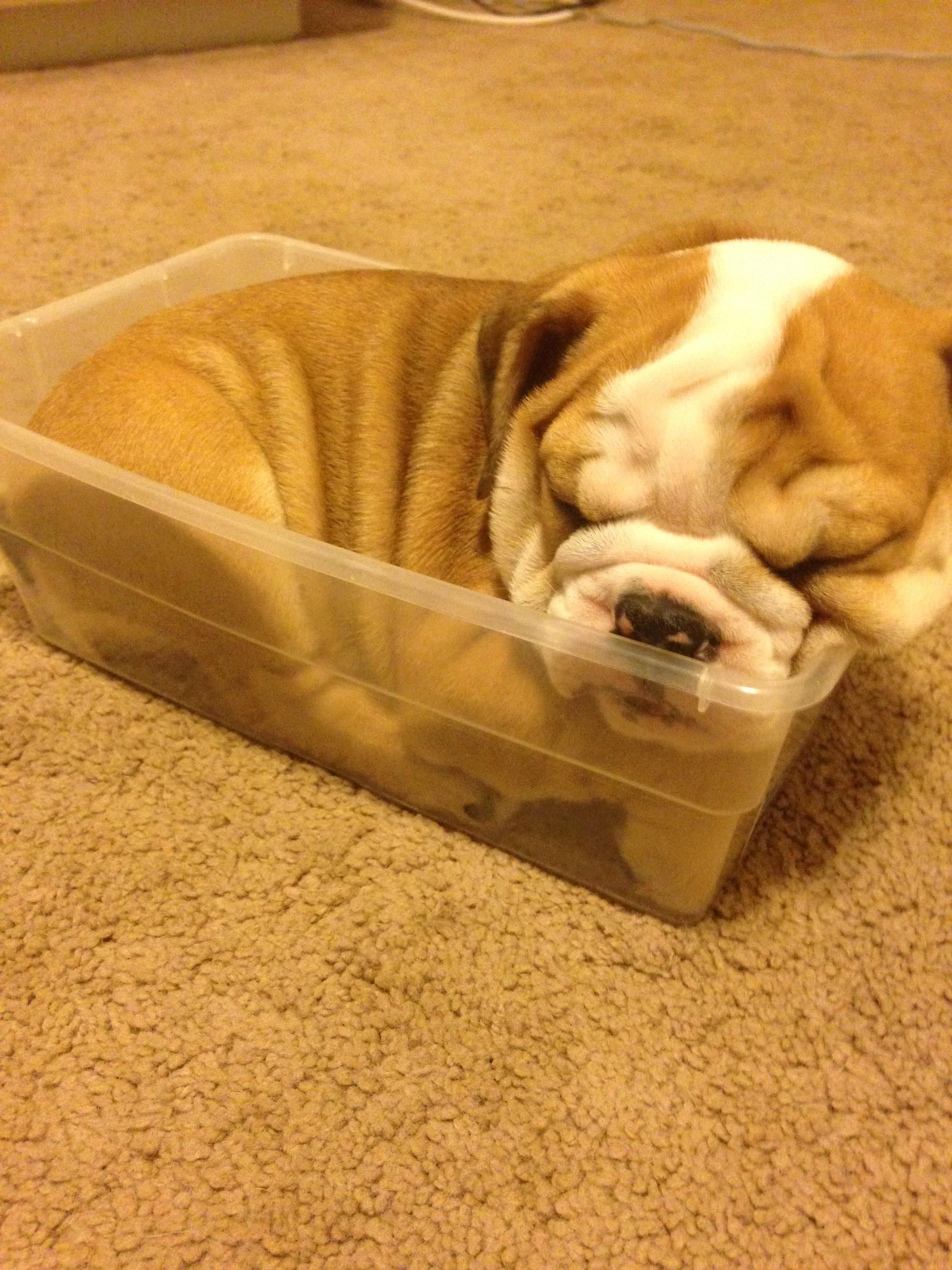 My english bulldog sleeping in a container when she was a puppy