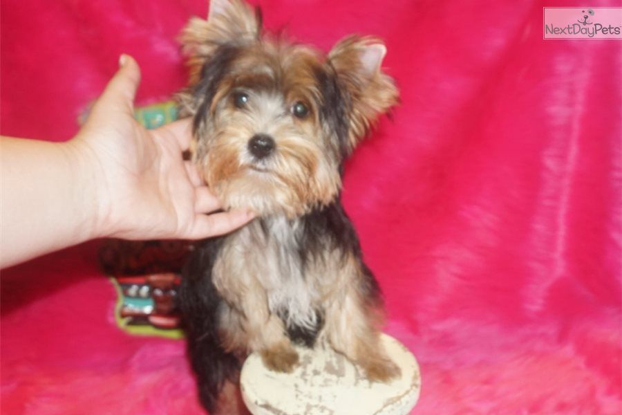 Charlie Chaplin Yorkshire Terrier Yorkie Puppy For Sale Near Dallas Fort Worth Texas Yorkie Puppy For Sale Cute Puppy Breeds Yorkshire Terrier Puppies