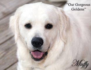 Golden Retriever Puppies White Cream Akc Certified Nj Breeders Md
