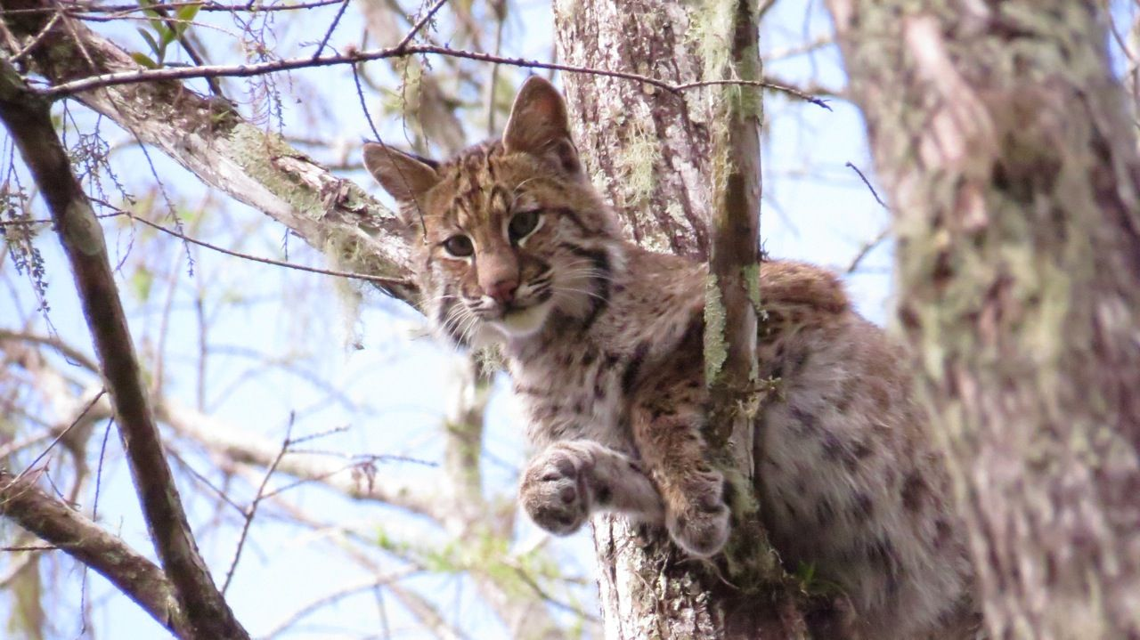 Bobcat resting high up in the cypress forest of the sanctuary. www.garygreenfield.com