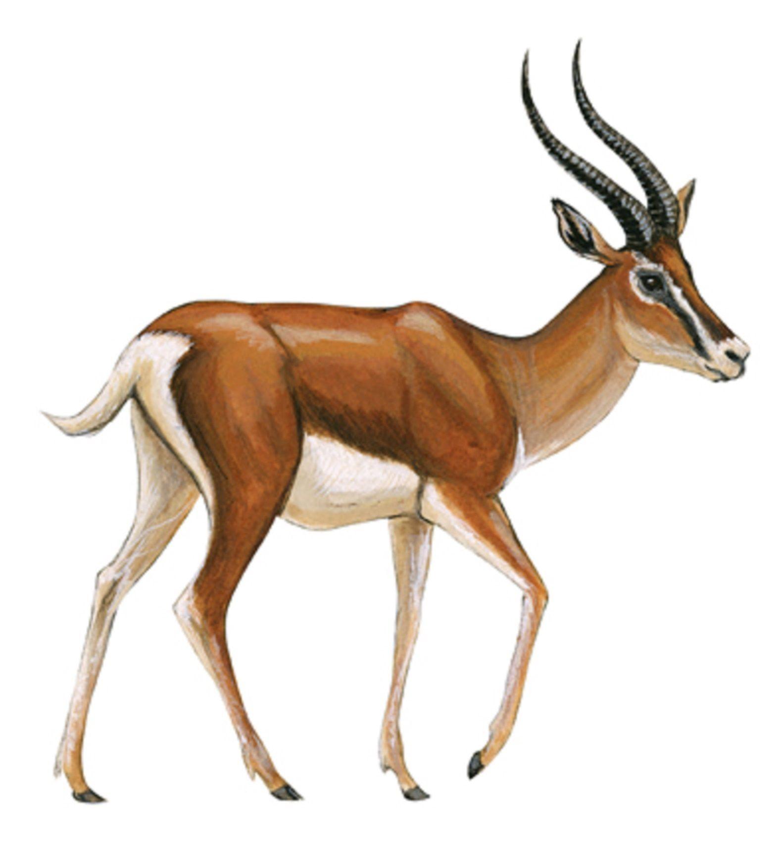 Art illustration Gazelle are antelopes mediumsized