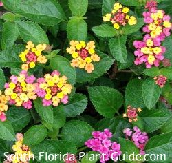 Perennial flowers for south florida tyres2c flowering perennials for south florida lantanas mightylinksfo