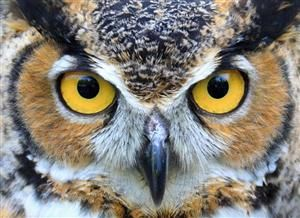 Great Horned Owl by Northland Pics