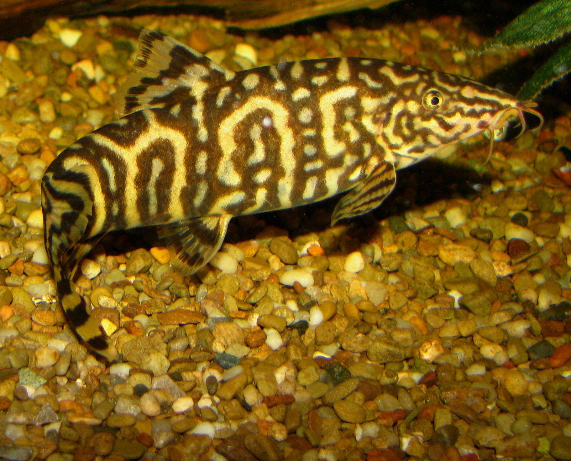 Yoyo Loach Yoyo Loach Cool Fish Aquarium Fish Fish Pet