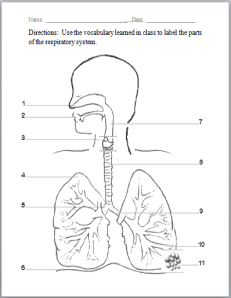 Respiratory System | Respiratory system, Worksheets and Human body