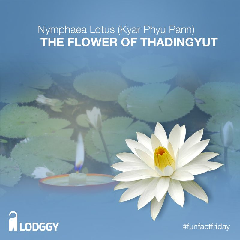 The Seasonal Flower For Thadingyut Is Nymphaea Lotus Kyar Phyu Pann