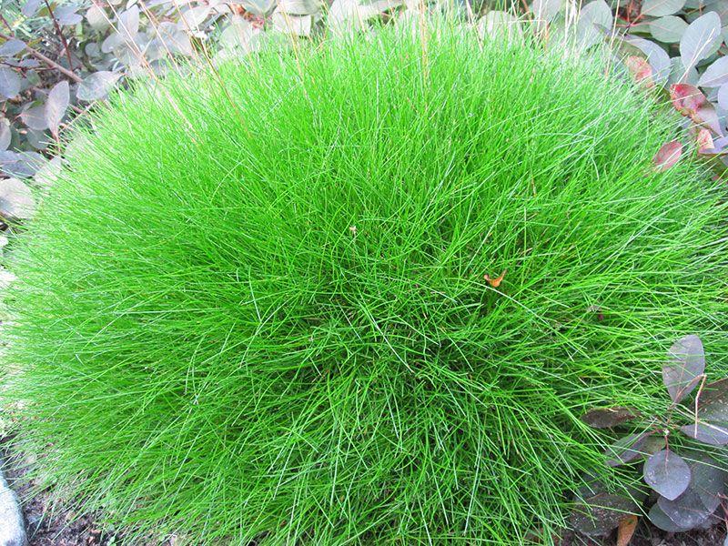 B renfellgras festuca gautieri ziergras b renfellschwingel for Topfpflanzen winterhart