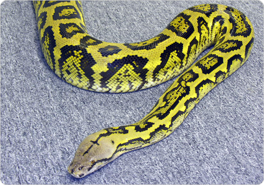 Jungle Retic - hybrid from Reticulated Python x Bateater