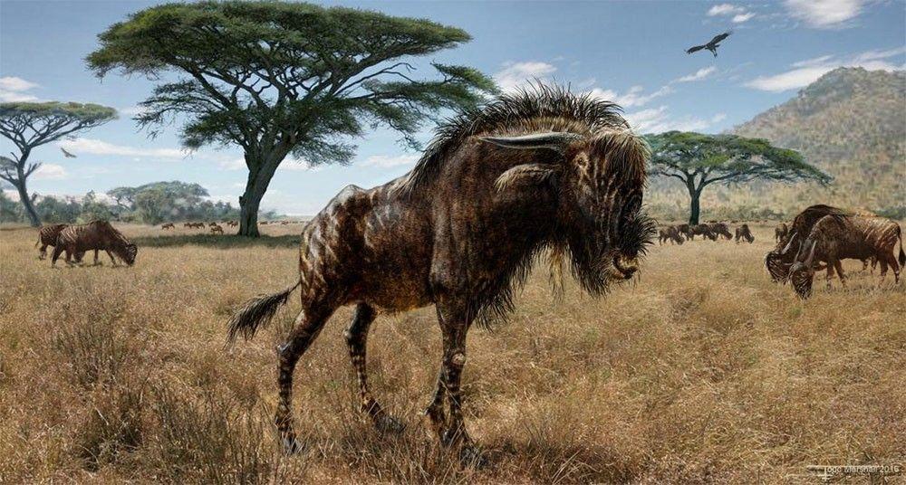 Rusingoryx, un mamífero de hocico abovedado, vivió en los calurosos pastizales que alguna vez cubrieron la isla Rusinga, en Kenia.