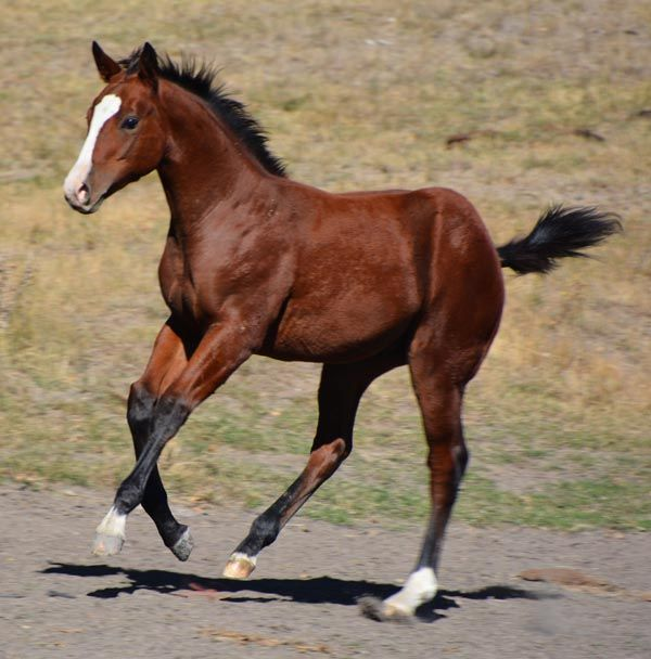 Paint Horses, Quarter Horses For Sale - Ranch Geldings