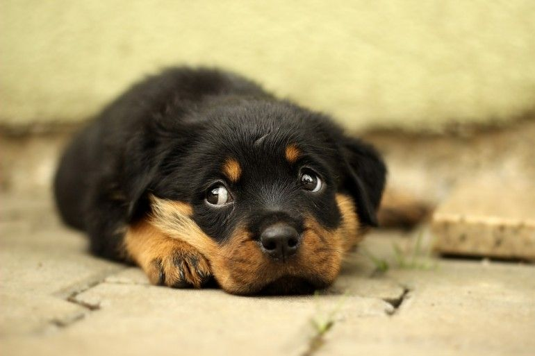 Ricco Imprenditore Investe Tutta La Sua Ricchezza Per Salvare I Cani Dal Macello Cuccioli Di Rottweiler Rottweiler Razze Di Cani