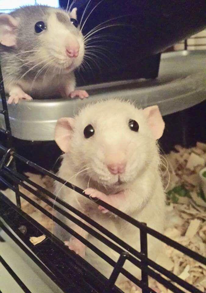 Hi My Name Is Cameron Cute Rats Pet Rats Cute Animals