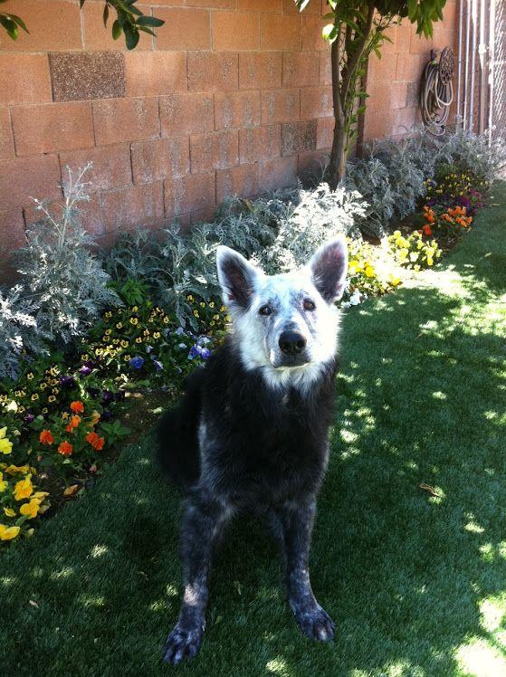 Shepherd with vitiligo Mixed breed dogs, Unique dog