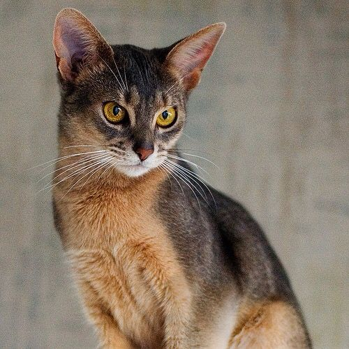 Abyssinian Cats For Sale Bc