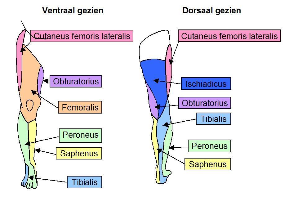 perifere huidinnervatie been tibialis en peroneus komen voort uit n ...