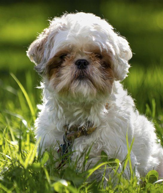Learn More About This Dog Breed Shihtzu Pinterest Shih Tzus