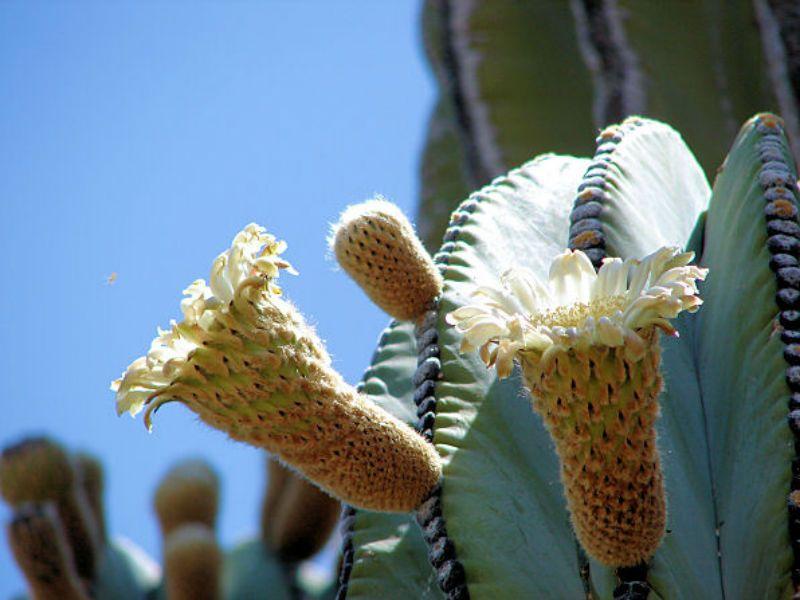 Pachycereus pringlei – Mexican Giant Cardon, Elephant Cactus - See more at: http://worldofsucculents.com/pachycereus-pringlei-mexican-giant-cardon-elephant-cactus/