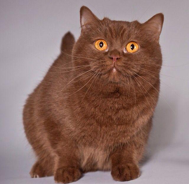 Cinnamon British Short Haired Munchkin Cat British Shorthair Cats American Shorthair Cat Cat Breeds