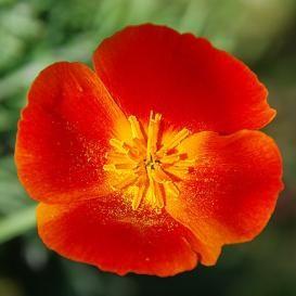 Poppy seeds poppy flower seeds for sale edenbrothers poppy seeds poppy flower seeds for sale edenbrothers mightylinksfo