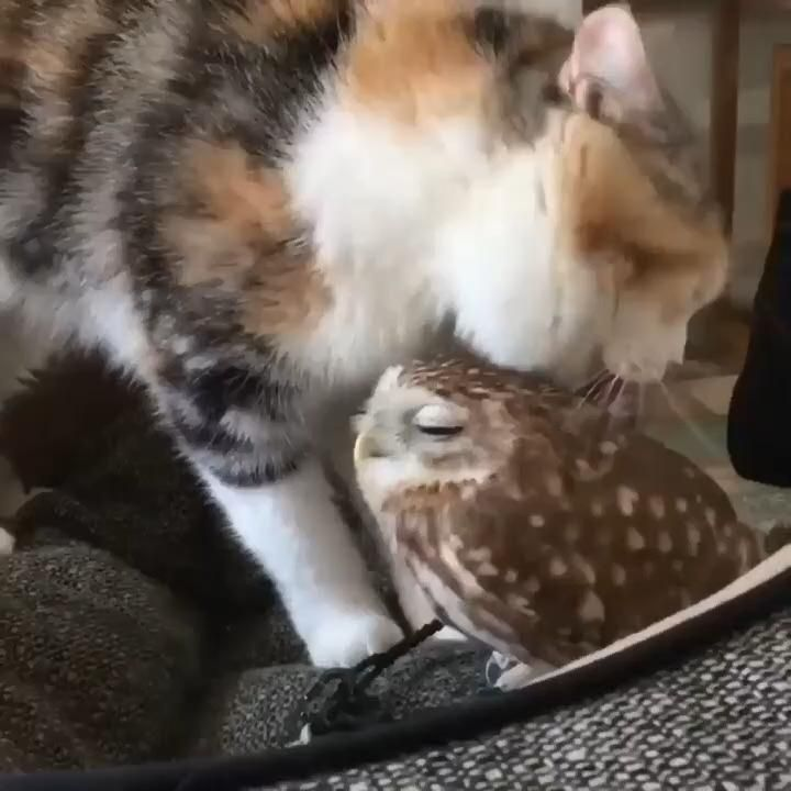 Cat and Owl #owls #cats #cat #animals #animalvideo