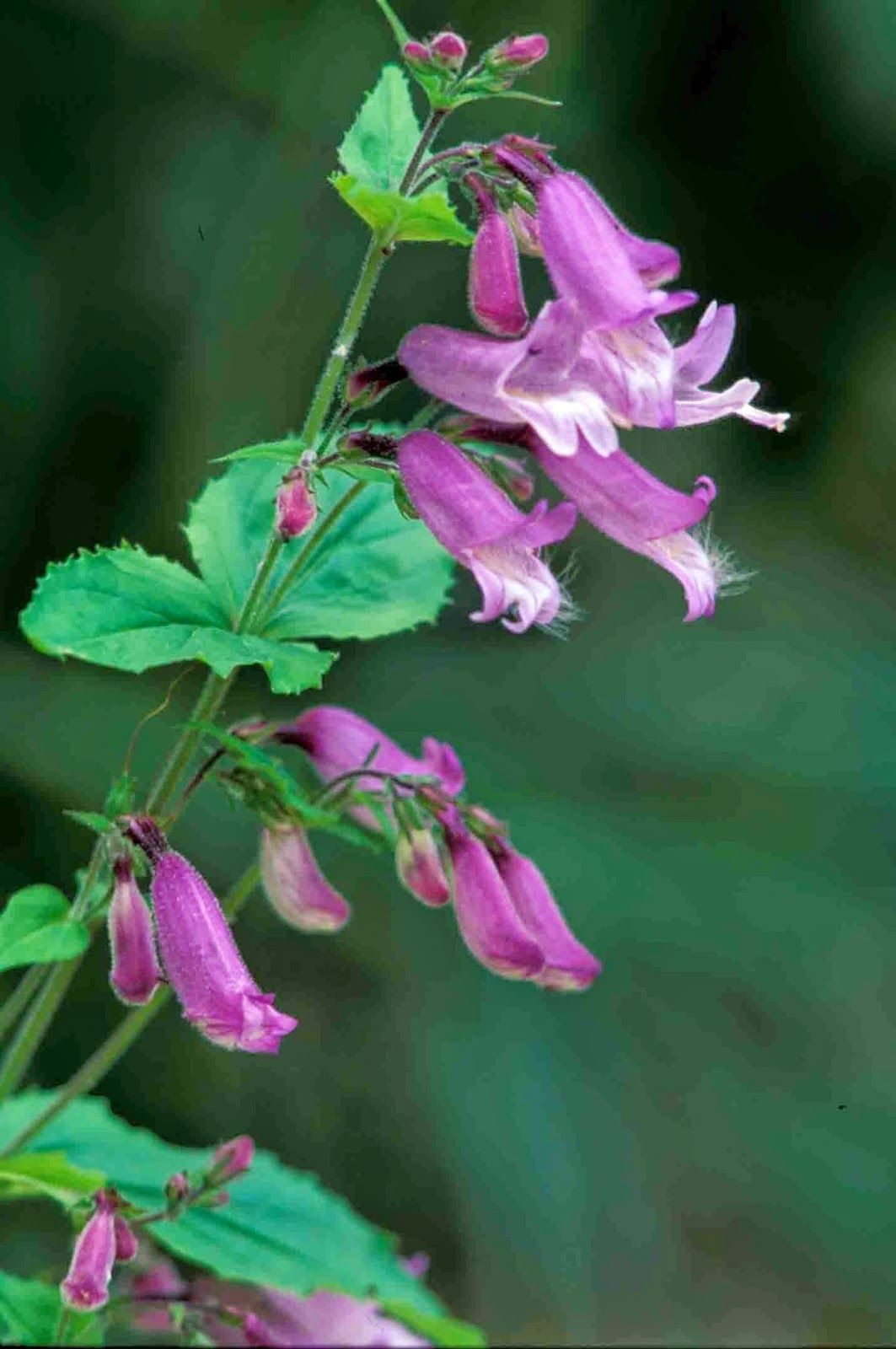 Kentucky Native Plant And Wildlife: Plant Of The Week: Penstemon Smallii