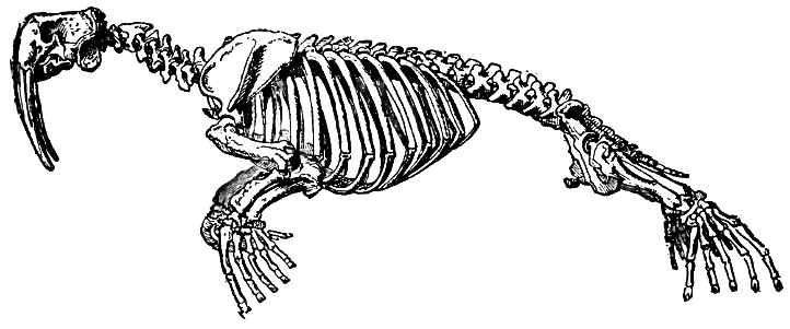 walrus skeletal system