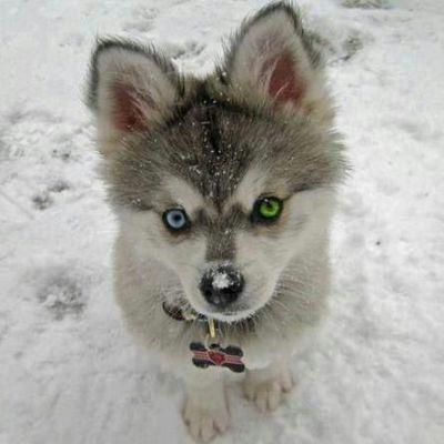 One Blue Eye One Green Eye Husky Pup Cute Baby Animals Cute