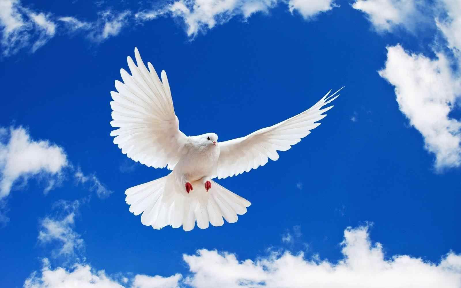 Flying Birds Hd Wallpapers For Desktop Dove Flying White Doves Animal Wallpaper