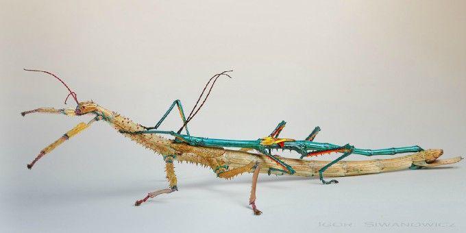 Achrioptera Fallax Photo By Photographer Igor Siwanowicz