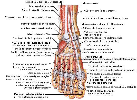 Aula de Anatomia - Sistema Muscular - P | Anatomía | Pinterest ...