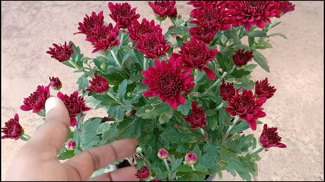 How To Take Care Of And Grow Chrysanthemums Guldaudi In Hindi Sevanthige In Kannada Youtube In 2020 Chrysanthemum Chrysanthemum Care In Kannada