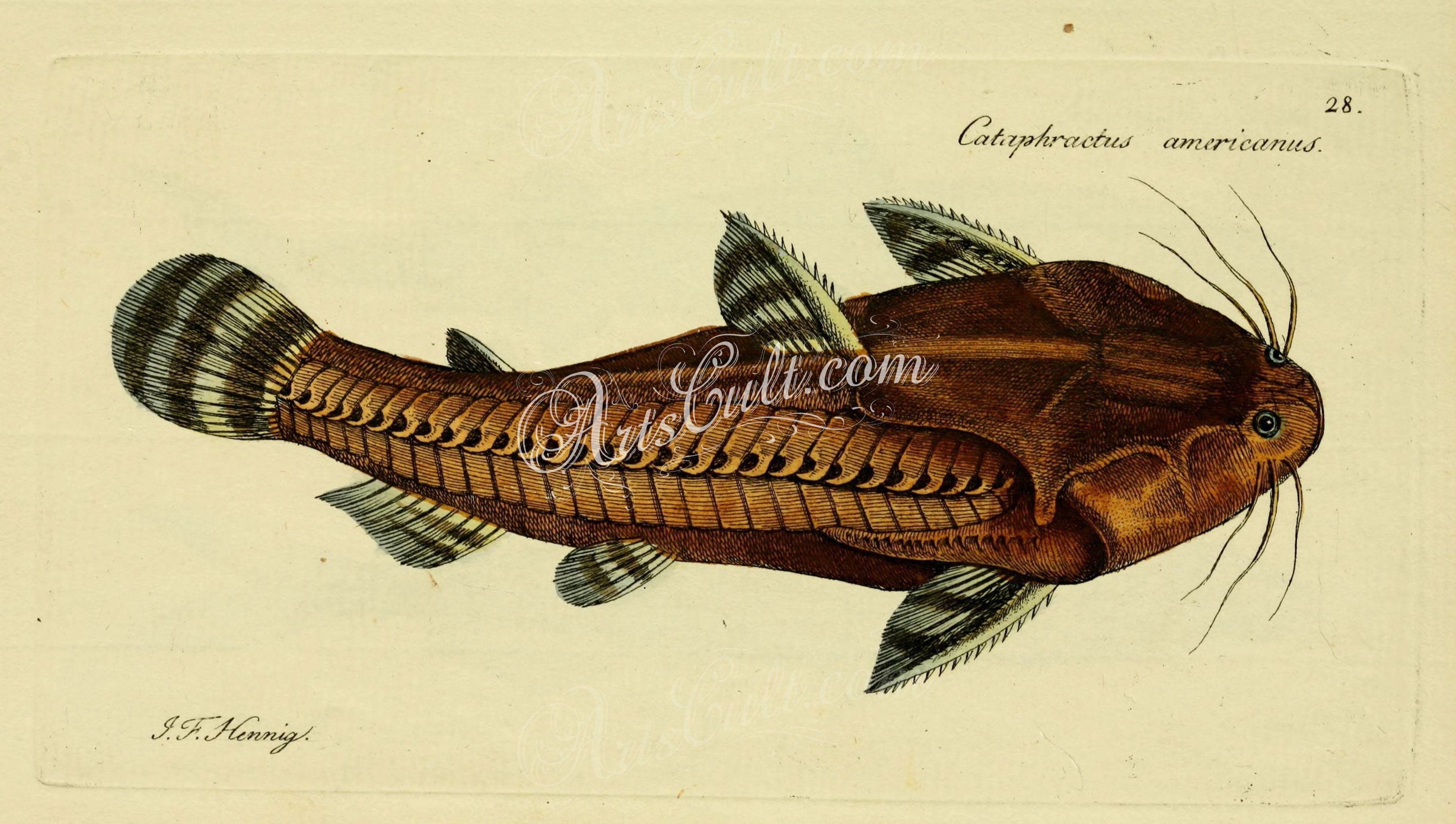 Spiny Catfish ... | ArtsCult.com - best | Pinterest | Catfish