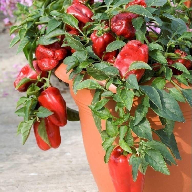 Cómo Cultivar Pimientos En Macetas Cultivo Del Pimiento Cultivo De árboles Frutales Cultivo De Hortalizas