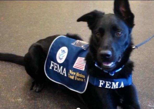 Rescued To Rescuer Logan The Fema Dog Dogs With Jobs Search And Rescue Dogs Rescue
