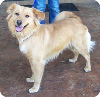 Golden Retriever Spitz Unknown Type Medium Mix Dog For Adoption