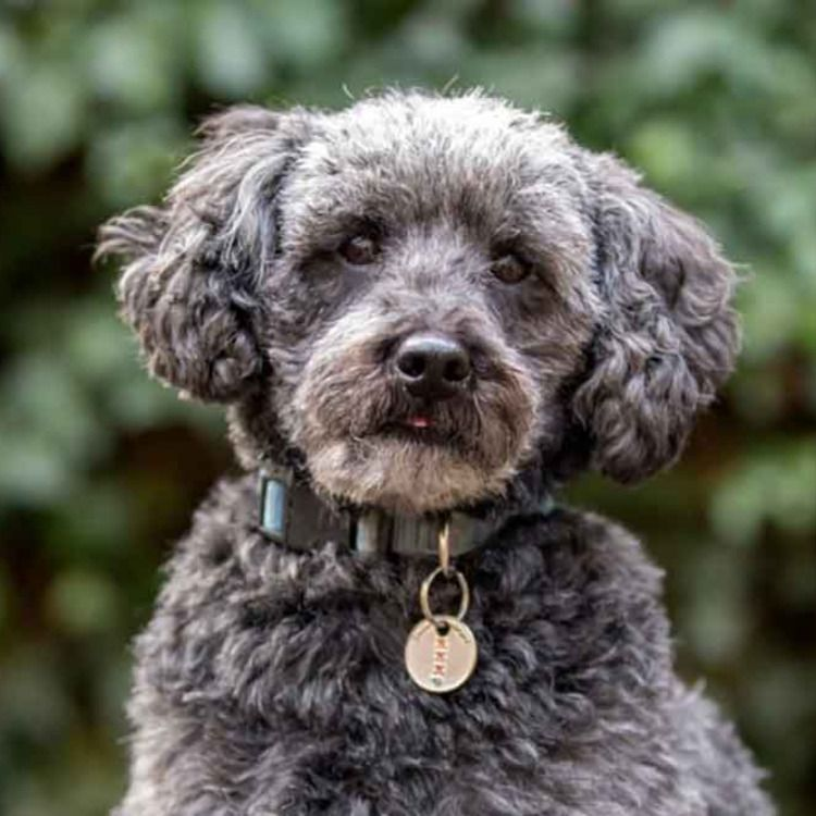 Schnoodle Information & Crossbreed Dog Facts in 2020