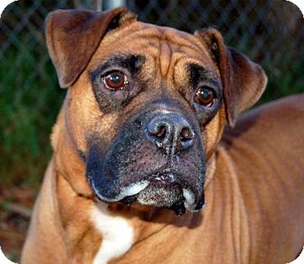 Lake City, MI Boxer/Mastiff Mix. Meet Bella, a dog for