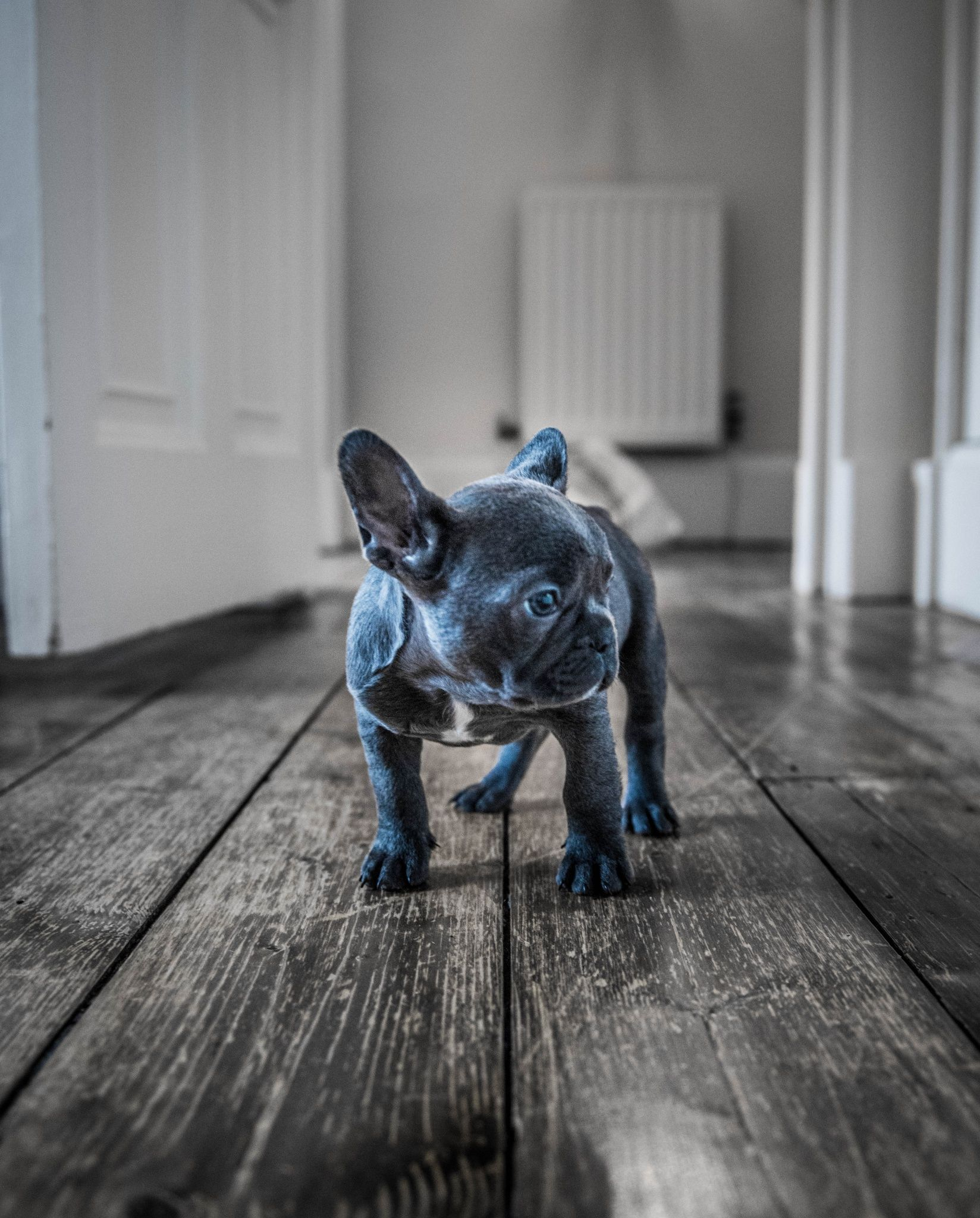 Luna the Blue Frenchie French bulldog puppies, Bulldog