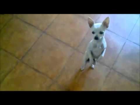 Perro Bailarin Perrito Bailando Salsa Divertidos Animales Mascotas Graciosas Videos Graciosos Http Www Perro Bailando Perros Y Bebes Humor De Perros