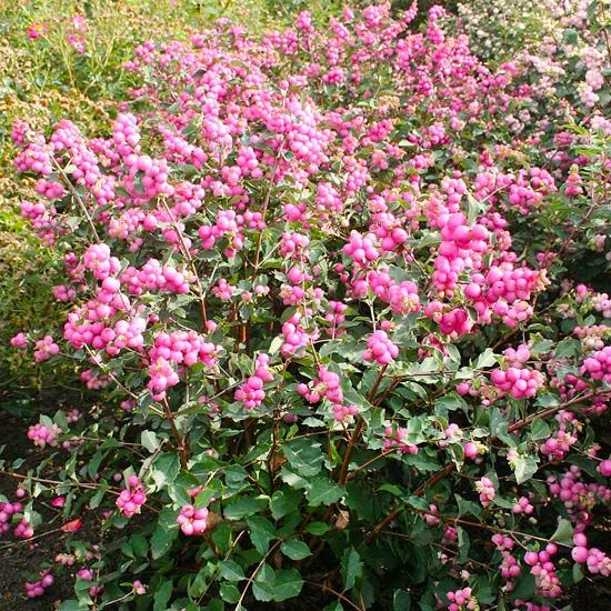 New Trees And Shrubs For 2013 Trees And Shrubs Small Pink Flowers Plants