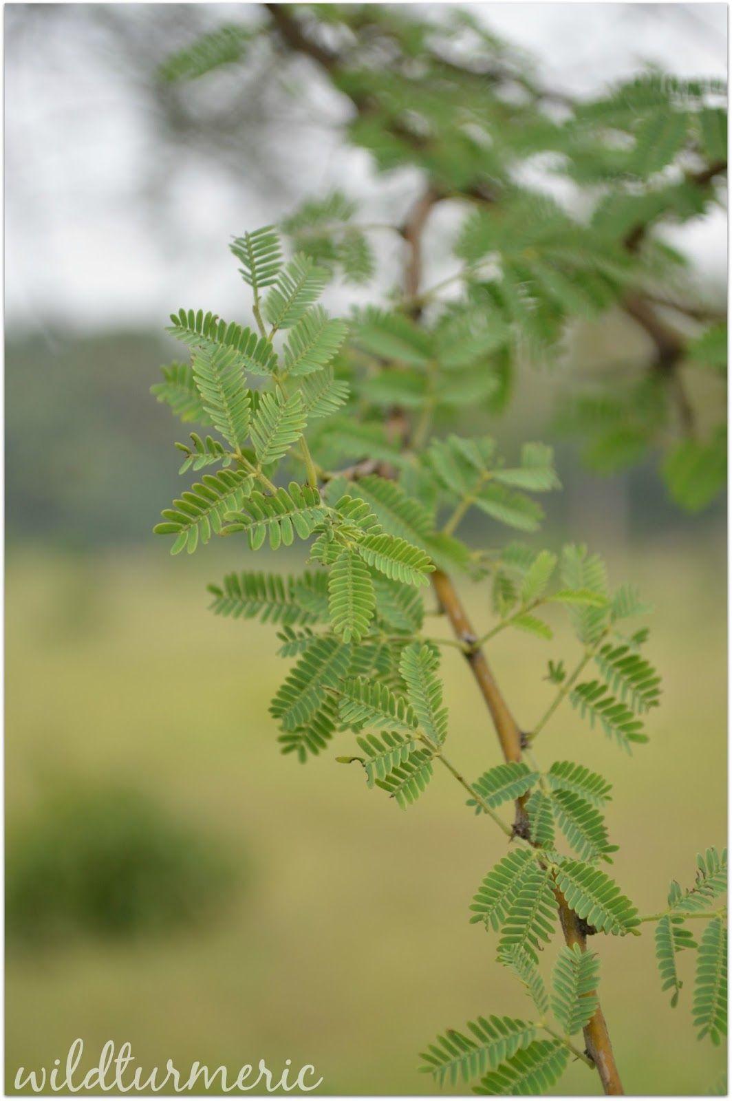 5 Top Medicinal Uses Of Babool Babul Tree Acacia Arabica Kikar Karuvela Maram Wildturmeric Herbal Plants Ayurvedic Plants Babul