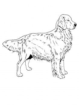 Dog Color Pages Printable Golden Retriever Dog Coloring Page