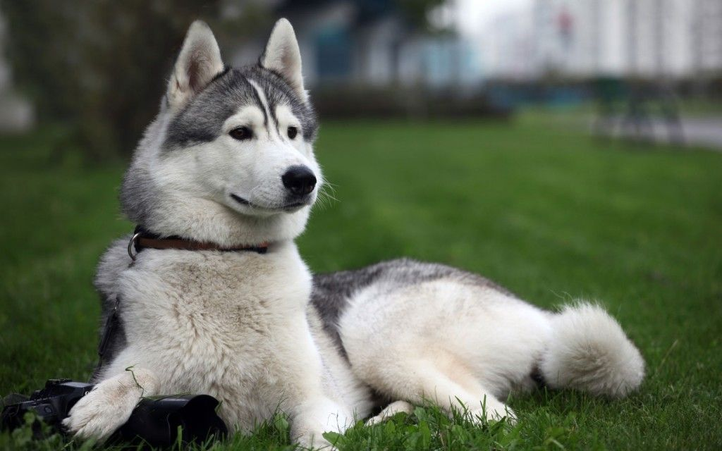 Siberian Husky The Working Dog Breed From The Siberian Arctic