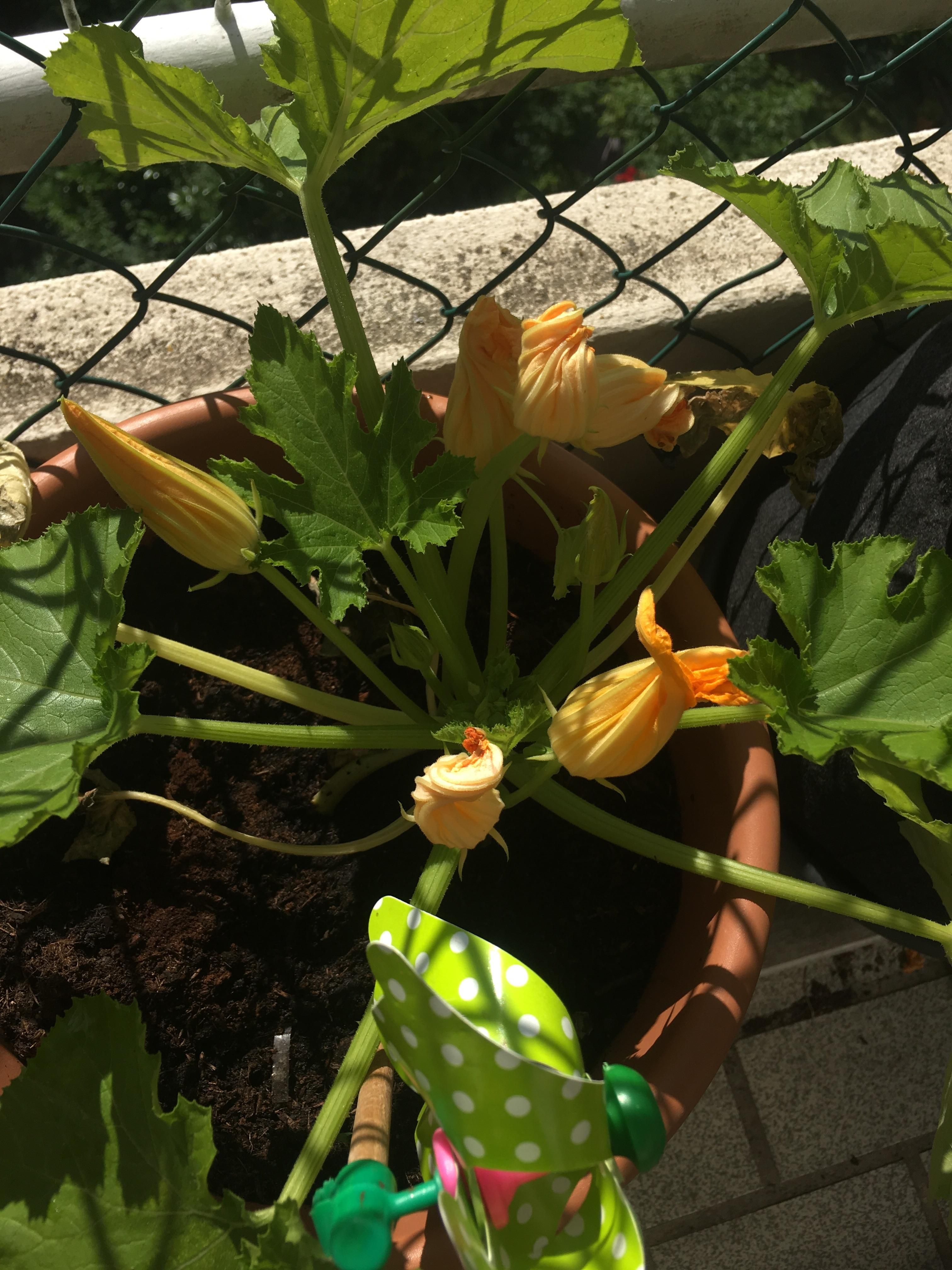 Gender Biased Zucchini Why Do I Get Only Male Flowers 3 Plants